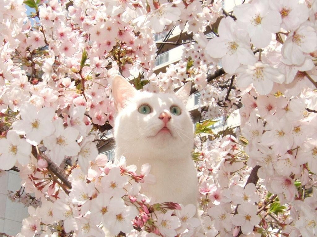 cherry-blossoms-flowers-cats-animals-fresh-hd-wallpaper