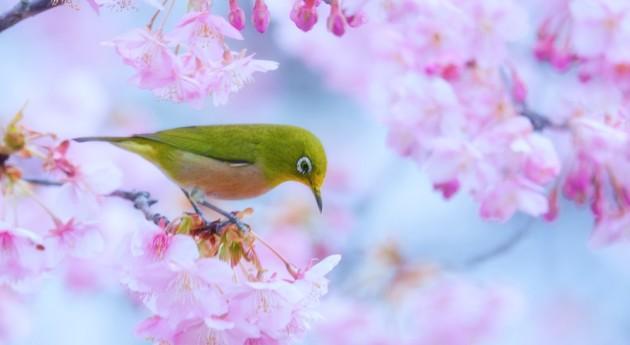 sakura cerejeiras