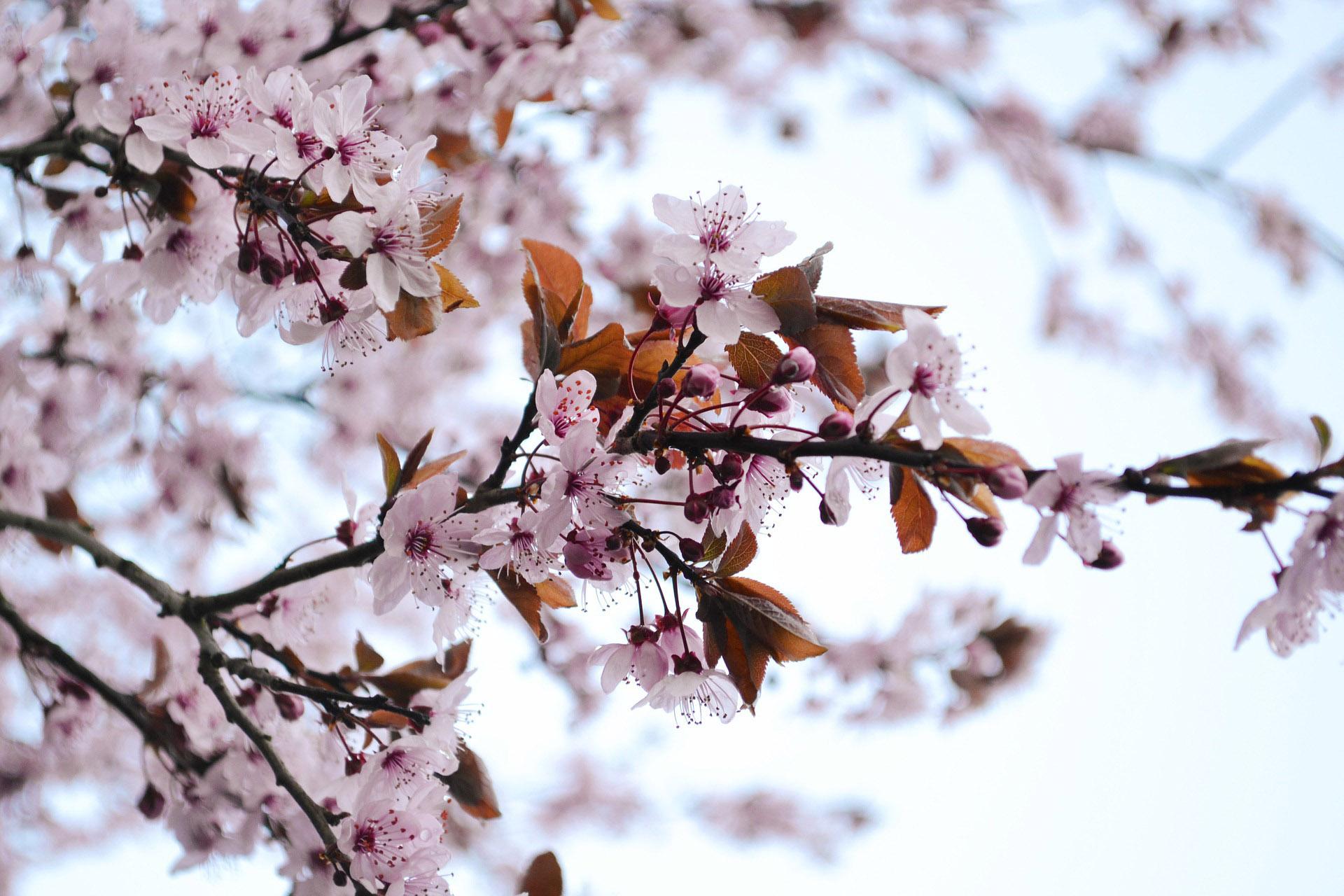 flores populares no japão