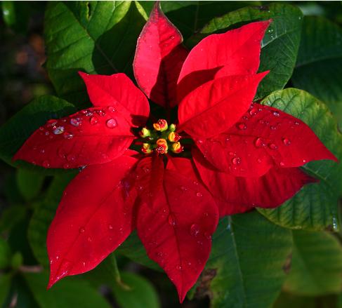 Flor Símbolo do Natal