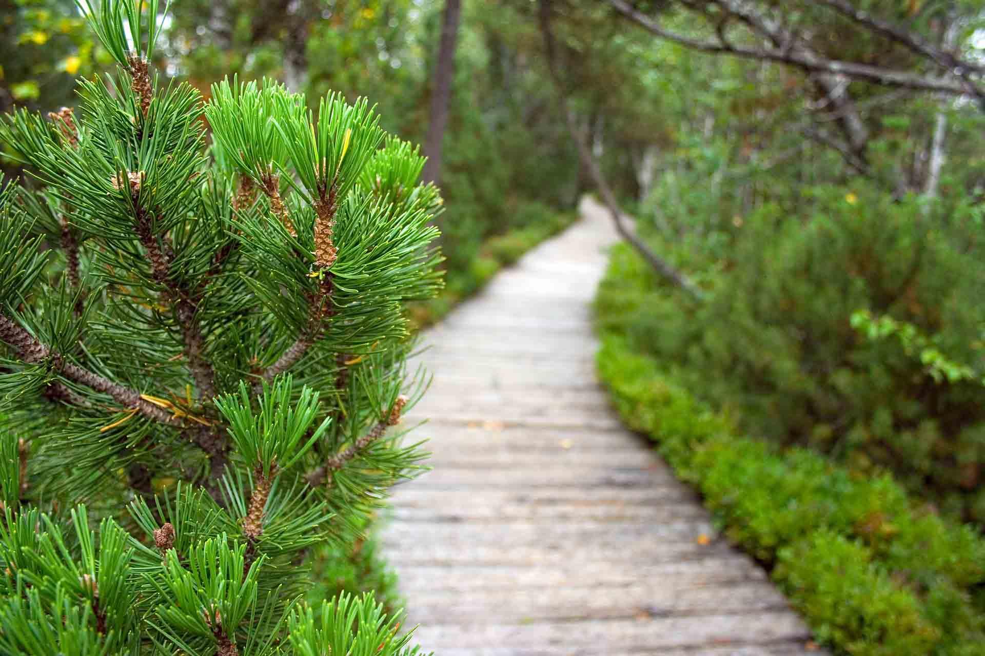 pinheiro árvore símbolo do natal