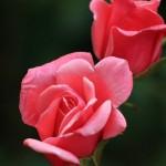 Flores e plantas para presentear no Dia das Mães