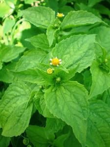 menor flor do mundo foi descoberta no Peru