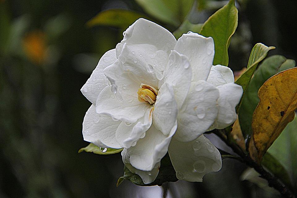 gardenia-178719_960_720